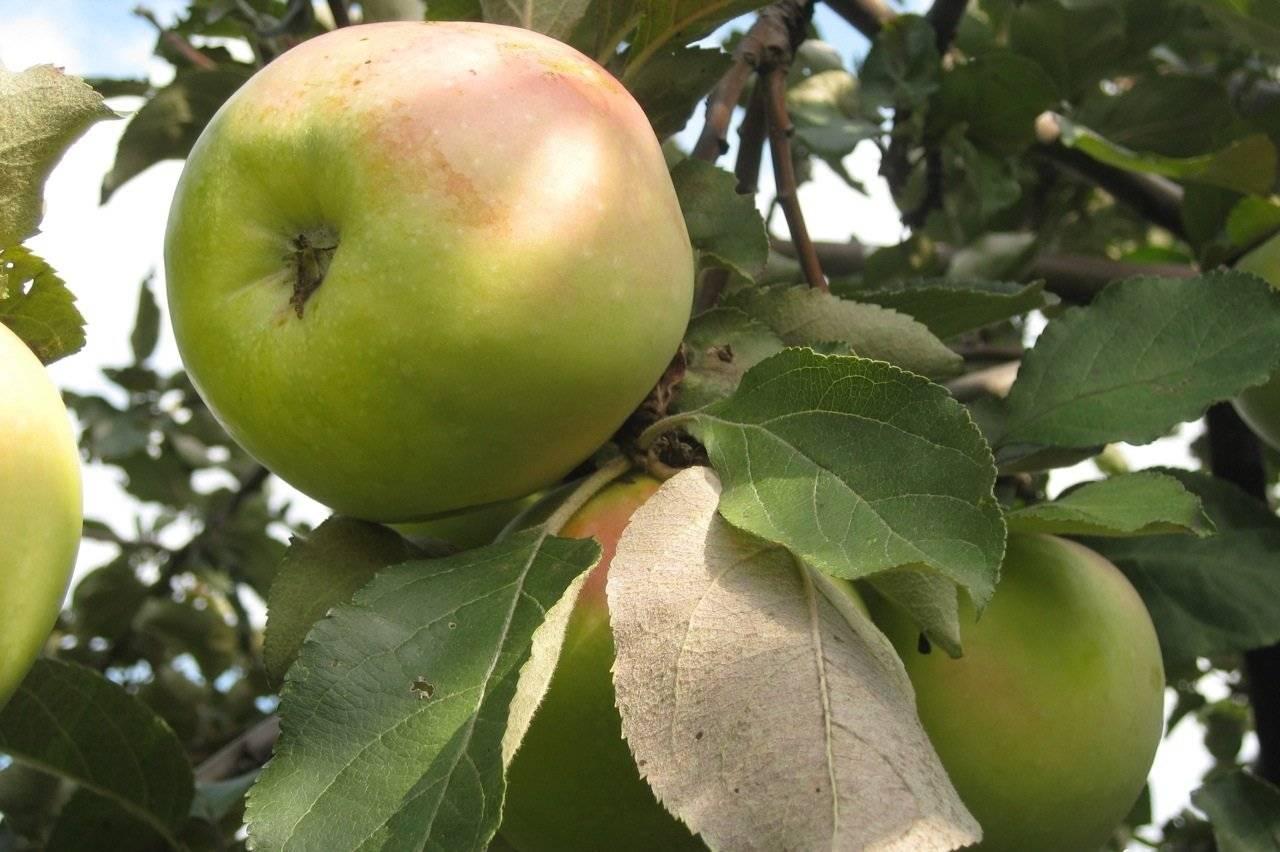 Выращивание яблони «северный синап»: достоинства и недостатки сорта, посадка и уход
