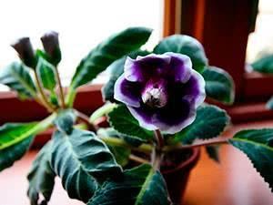 Глоксиния из семян: выращивание глоксинии из семян в домашних условиях, правила и время посадки, пошаговое руководство