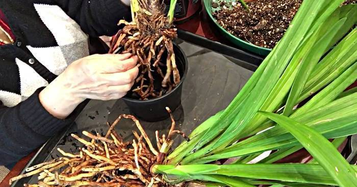 Размножение орхидей