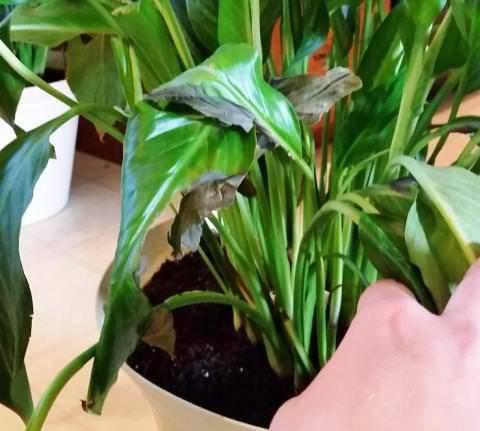 Чернеют листья спатифиллума: почему у цветка «женское счастье» они сначала желтеют, а потом сохнут и темнеют по краям, каковы причины коричневых кончиков, что делать для лечения болезней и как ухаживать в домашних условиях, чтобы спасти растение?