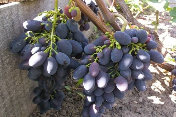 Виноград «Кодрянка»: описание сорта, фото, уход, отзывы
