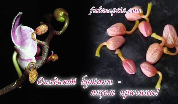 У орхидеи опали цветы: почему и когда это происходит, в чем причины, если быстро вянут все бутоны и нераспустившиеся тоже, что делать дальше, чтоб помочь растению? selo.guru — интернет портал о сельском хозяйстве