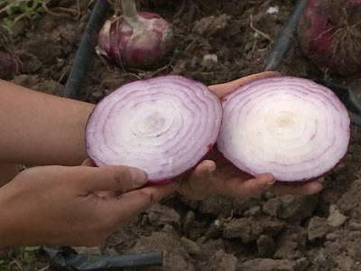 Ялтинский лук: выращивание, полезные свойства, фото