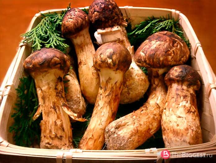 Описание самых дорогих грибов