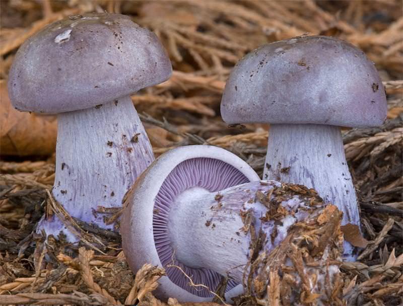 Гриб синеножка, рядовка лиловоногая, подотавник или синий корень (lepista saeva): фото, описание и как его готовить