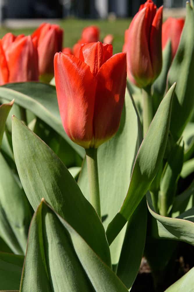 Тюльпаны - когда сажать луковицы, и когда выкапывать?