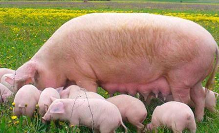 Откорм свиней: как эффективно откормить свиней в домашних условиях