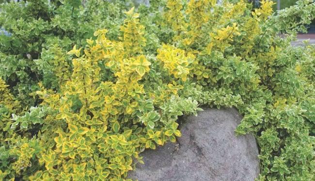 Бересклет: выращивание, виды и сорта