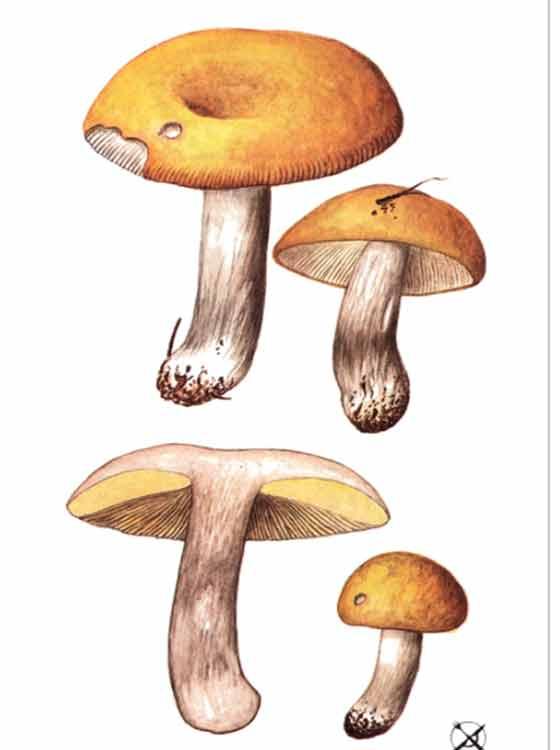 Что вы знаете о сыроежках желтых? всё о диковинном грибе!