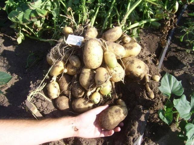 Картофель джелли — описание сорта, фото, отзывы, посадка и уход