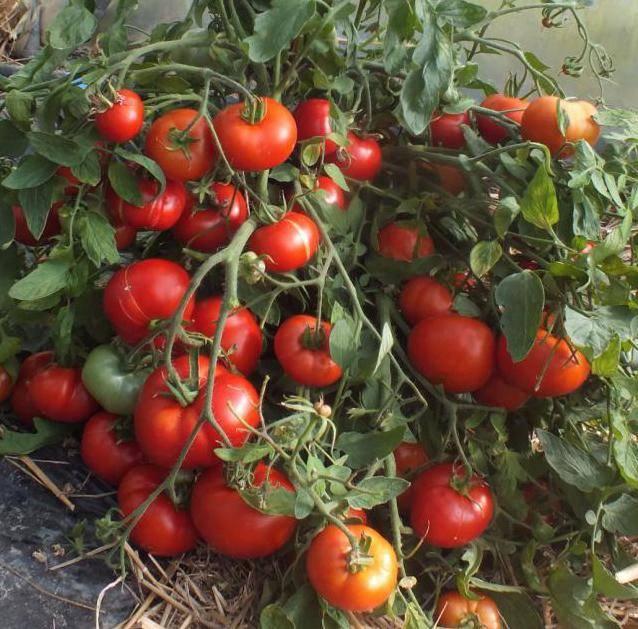 Томат японский карлик: отзывы и фото поспевшего урожая, секреты агротехники, а также преимущества и недостатки сорта