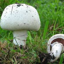 Шампиньоны - съедобные грибы | описание, фото и видео