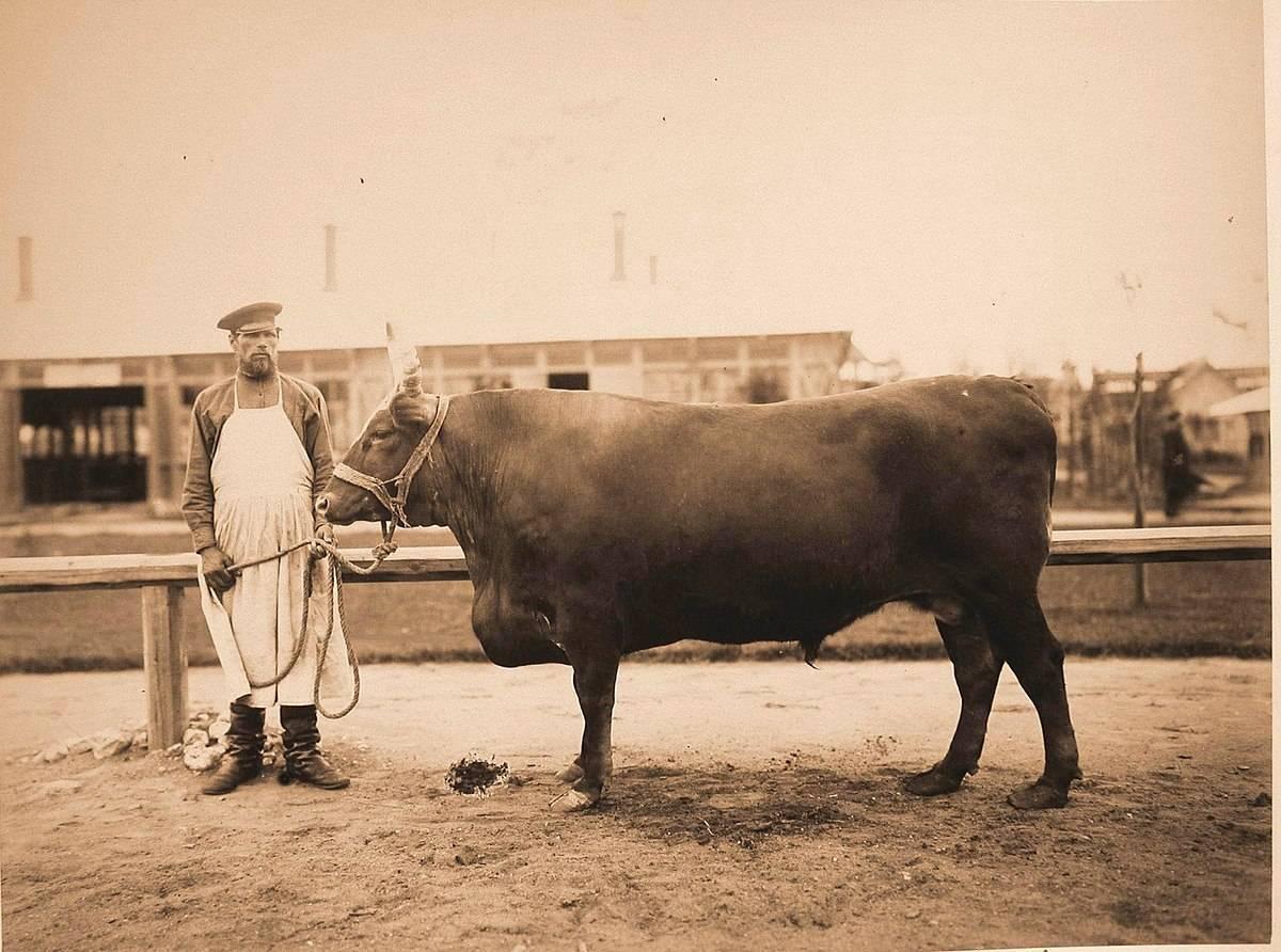 Калмыцкая порода коров: описание, характеристика, фото
