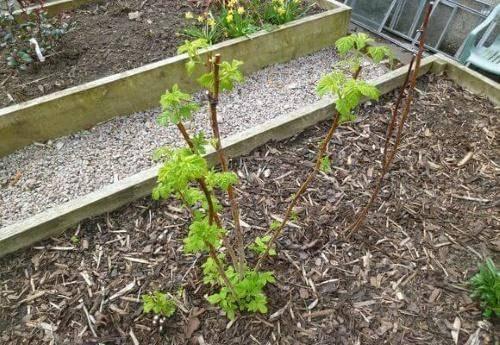 Как посадить малину, чтобы получить хороший урожай: пошаговая инструкция и советы для дачников