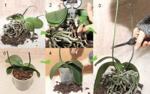 Домашний уход за мини-орхидеей Фаленопсис