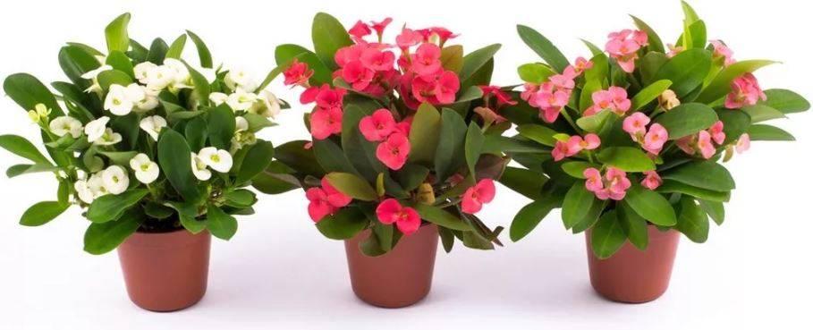 Чем опасен комнатный молочай, ядовит цветок или нет? можно ли держать его дома?