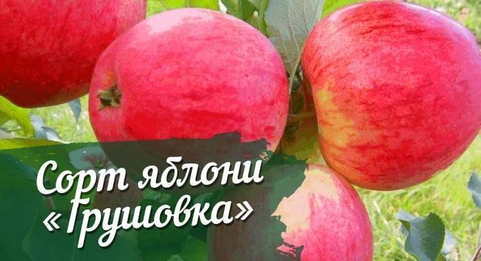 Грушовка московская: как ее вырастить яблоню, описание