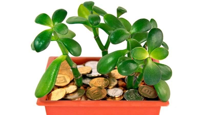 Как ухаживать за денежным деревом (толстянкой) в домашних условиях
