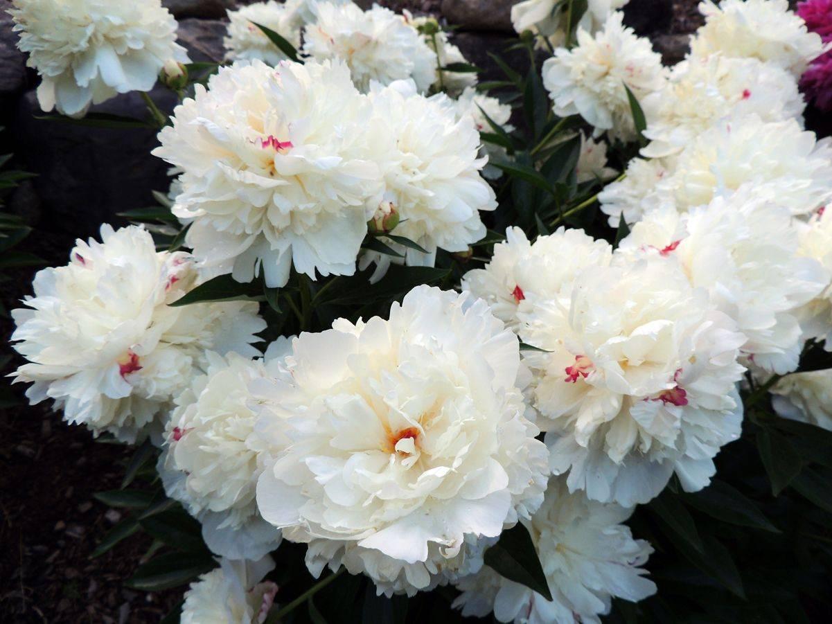 Пион фестива максима: особенности сорта и правила выращивания