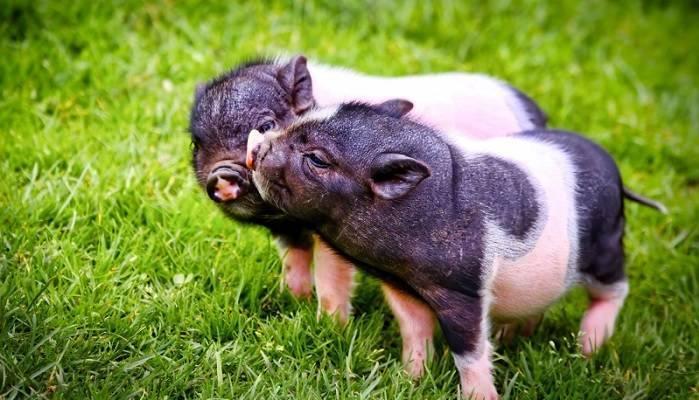 Дизентерия у свиней: симптомы, возбудитель, лечение