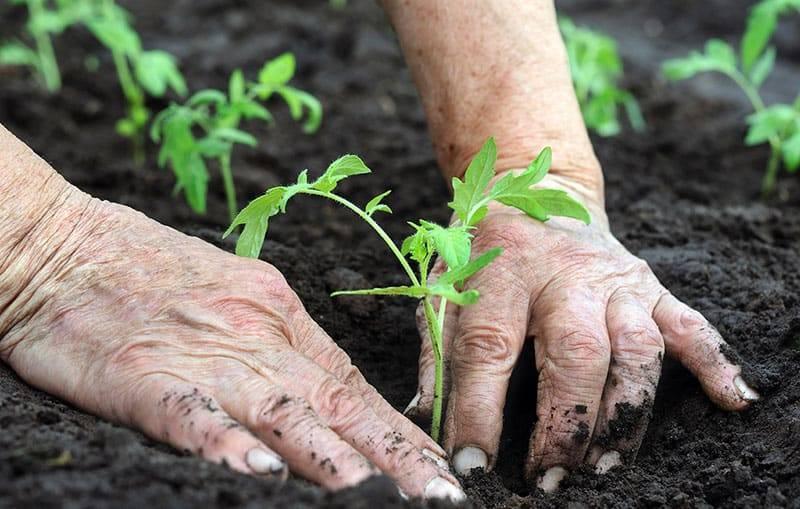 Особенности подготовки грядки к посадке помидоров