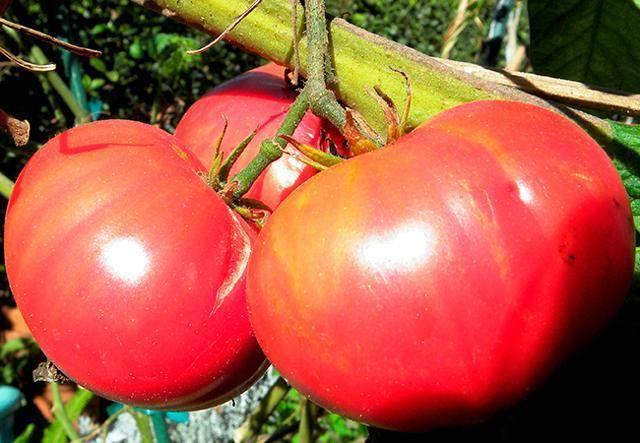 Томат розовый гигант: выращивание, разведение и особенности помидор сорта (105 фото)