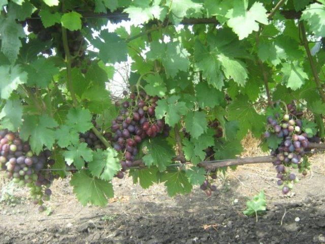 Выращивание ультрараннего винограда «краса никополя» в условиях приусадебного хозяйства
