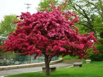 Сорта декоративных яблонь: виды с розовыми цветами, с красными листьями и цветами, со съедобными плодами, их фото и применение в ландшафтном дизайне, а также что такое японская яблоня | tele4n.net
