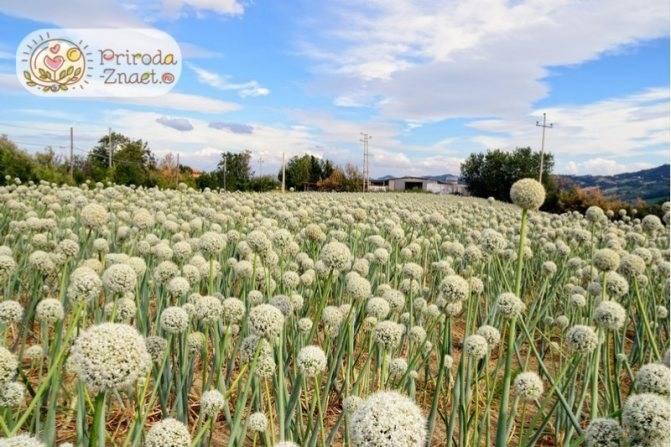 Лук шалот, выращивание и уход - agroflora.ru