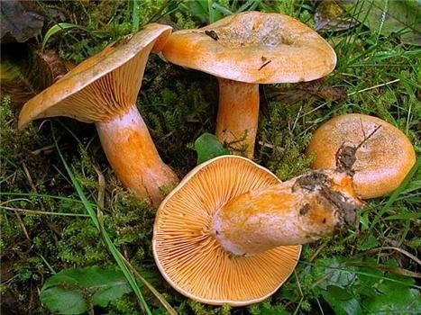 Рыжики (грибы): описание, деликатес или вред?