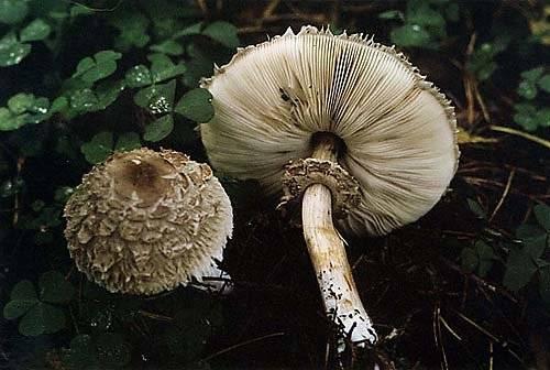 Описание и места распространения гриба курятника (зонтика краснеющего)