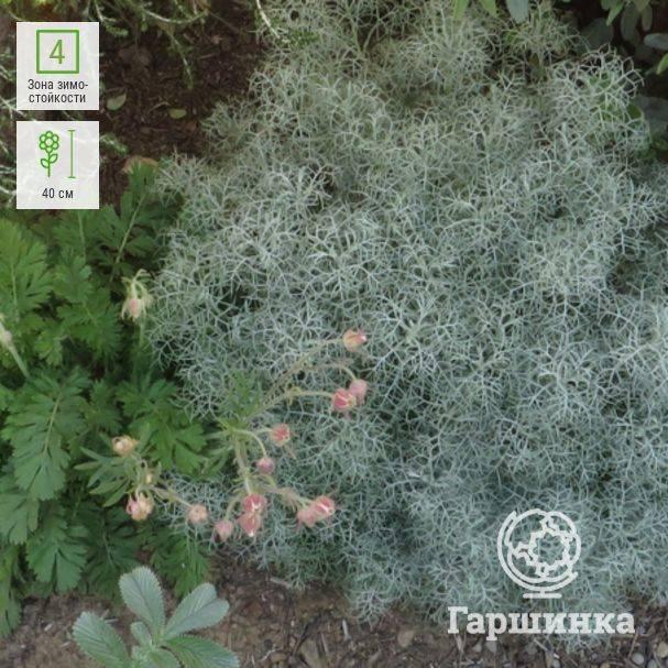 Где растет трава полынь: в какой зоне, фото