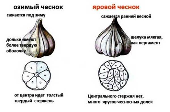 Подкормка чеснока для роста головок: лучшие рецепты