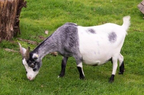 Как и сколько раз в день доить козу?