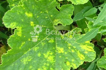 Мраморные листья у огурцов: фото и их лечение