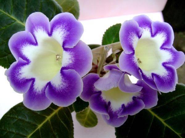 Глоксиния домашняя фото, уход, выращивание из семян