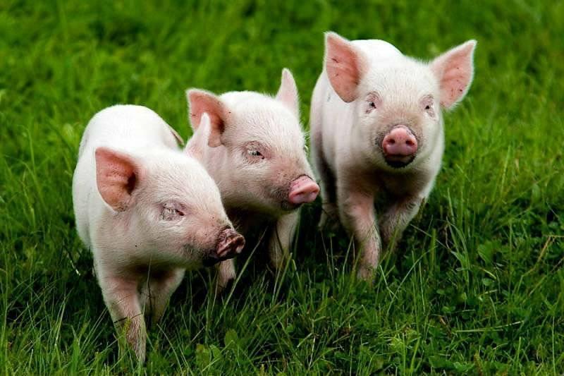 Скрещивание свиней: описание процесса