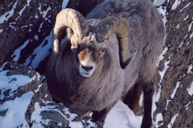 Снежный баран - охота и рыбалка, животные, туризм