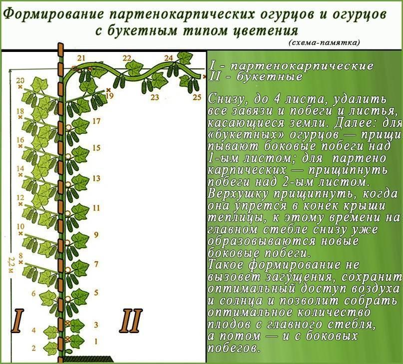 Выращивание огурцов в теплице, формирование куста