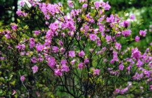 Рододендрон даурский лечебные свойства