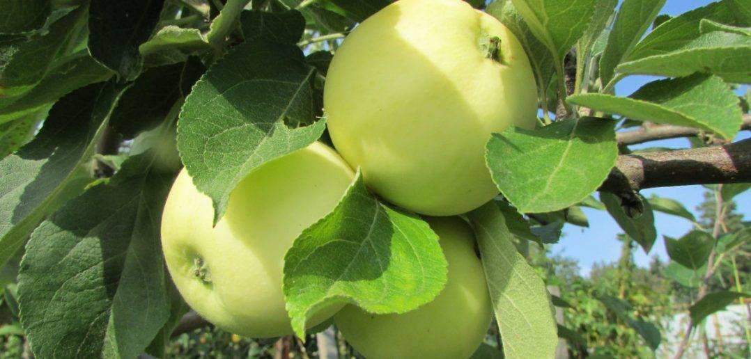 Яблоня белый налив: посадка и уход, описание сорта, видео и фото