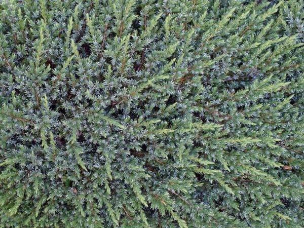Выращивание чешуйчатого можжевельника блю карпет