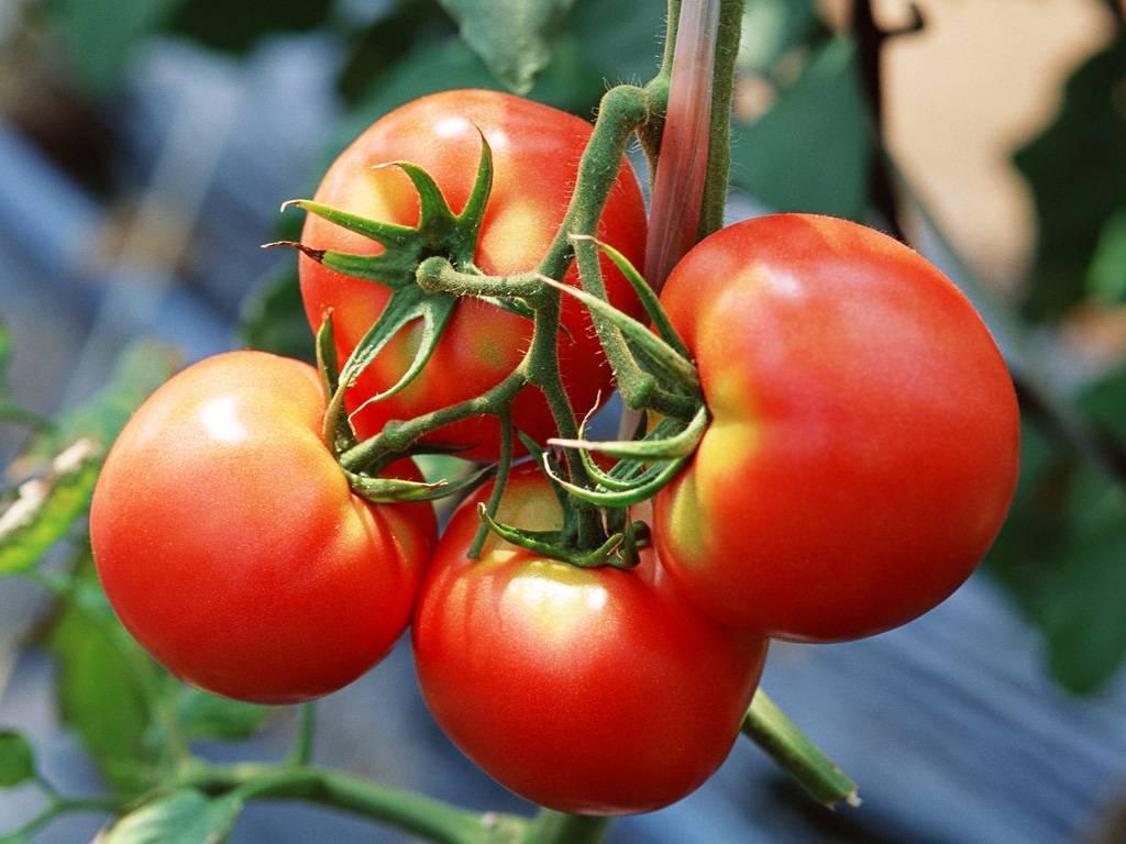 Лучшие помидоры для Подмосковья