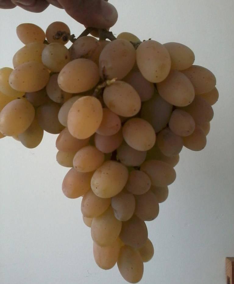 Виноград августин или феномен: описание сорта, отзывы
