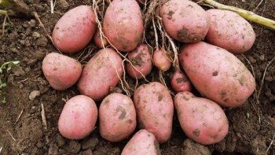 Картофель бриз: описание и характеристика, отзывы