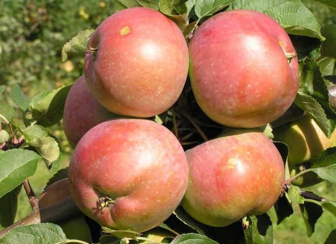 Сорта яблок: названия с фото и описанием, а также лучшие и сладкие виды, которые подойдут для средней полосы россии и других регионов