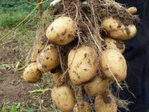 Картофель аврора: характеристика и описание сорта, фото картошки, отзывы тех, кто пробовал её выращивать