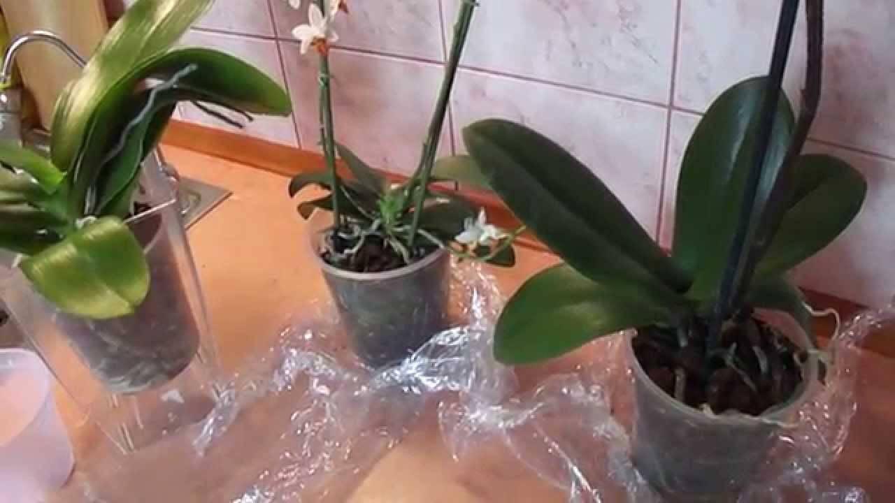 Пересаживать цветущую орхидею: можно ли после покупки в магазине, если она выпустила стрелку, когда лучше и как делать пересадку в это время в домашних условиях? русский фермер