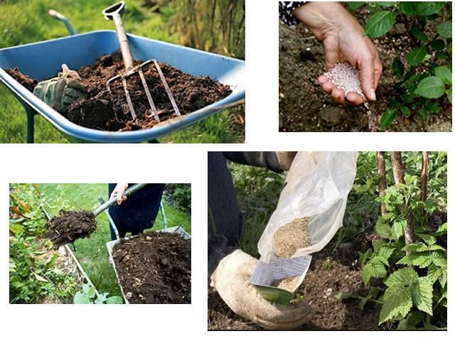Как ухаживать за малиной осенью, чтобы был хороший урожай: советы (фото)