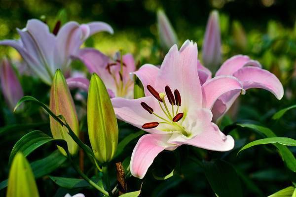 Лилии — основные гибриды и особенности их выращивания